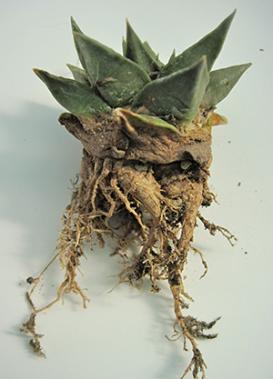Ibrido di ariocarpus: radici pulite e lasciate asciugare, anche per controllare la presenza di parassiti nel terriccio come la cocciniglia.