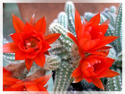 La specie E. chamaecereus è una cactacea bassa e cespitosa, che forma cespuglietti compatti con rami di lunghezza variabile. Il colore della pianta è variabile a seconda dell'esposizione al sole. La colorazione normale è verde pallido, se è esposta al sole diventa color giallo/rosso. I tubercoli sono poco pronunciati e i rami presentano spine molto piccole variabili dalle dodici alle quindici. Le costolature invece variano dalle sette alle dieci per ramo. I fiori sono di colore rosso/arancio, ad imbuto e nascono alla sommità dell'areola.