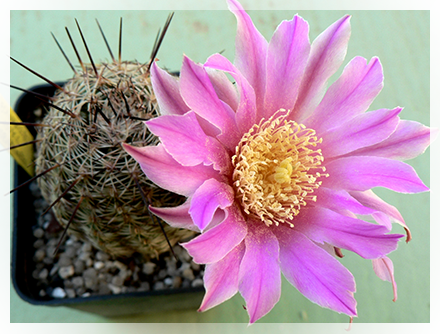Come tutte i cactus l'echinocereus necessita di terreno molto poroso composto da una parte di terra e molta sabbia grossolana unita a ghiaia. In genere la sua esposizione deve essere in pieno sole e le annaffiature regolari, specialmente in estate. Alcune specie come quelle provenienti dalla Baja California in inverno necessitano di circa 7/10 °C mentre tutte le altre specie resistono bene al freddo fin anche sotto i -10 °C.Durante questo periodo le annaffiature dovranno essere sospese del tutto.  La riproduzione avviene: per semi che verranno depositati nel periodo primaverile in un letto di sabbia umida e mantenuti ad una temperatura di 21 °C e al riparo dalla luce diretta del sole; e per talea oppure depositando il pollone dopo aver lasciato asciugare bene il punto di taglio in un letto di sabbia o pomice umida.