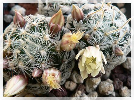 Mammillaria cactusfollia - Si possono tenere le piante in camera da letto ...