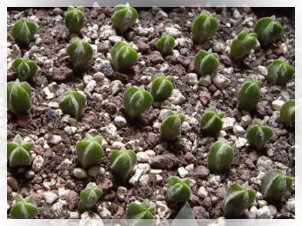 Astrophytum asterias, minima di 10°C., fiorisce da giovane, teme il sole estivo diretto e l'umidità stagnante, tende a marcire, non accestisce. Mantenere un riposo invernale piuttosto prolungato. E' prudente tenere qualche esemplare innestato p.e. su Myrtillocactus geometrizans, o Pereskiopsis velutina quando la marza è piccola; stesso discorso per A. asterias var. Super Kabuto.<br /> Astrophytum myriostigma, forma colonnare, presenta 4-5 lobi, senza spine, sole, minima 5°C., suolo minerale. E' la specie che più spesso è ibridata; Astrophytum coahuilens, si differenzia da Myriostigma per avere i puntini lanosi in rilievo.<br /> Astrophytum ornatum, crescita veloce, min.7°C; A. capricorne, fiore grande e migliore rispetto alle altre specie, min. 8-10°C.