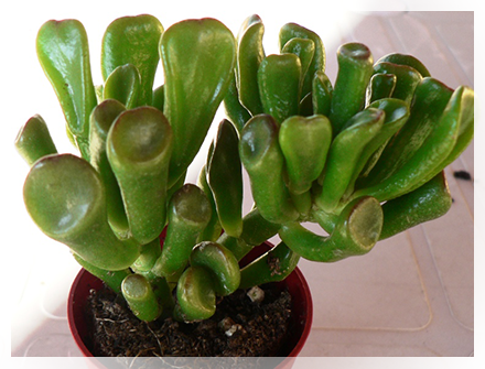 Le Crassulacee sono una famiglia di piante dicotiledoni in passato classificate nell'ordine Rosales, ma che in base alla moderna classificazione filogenetica andrebbe inserita nell'ordine Saxifragales.