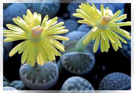 """Nella tarda primavera e all'inizio dell'estate  la pianta di Lithops inizia ad andare in riposo vegetativo (periodo in cui nei loro luoghi di origine inizia il caldo intenso e le piogge sono scarse o assenti) e per sopravvivere utilizza l'acqua immagazzinata nei tessuti delle foglie. In questo periodo occorre ridurre sensibilmente le annaffiature.   Durante l'estate la pianta entra in un vero e proprio riposo e pertanto sospende tutte le attività quindi non va annaffiata. Solo se vediamo che raggrinzisce troppo, diamone un pochino, ma proprio poco, senza che l'acqua vada in profondità nel terreno.  Verso agosto - settembre  la pianta riprende vita e ce ne accorgiamo in quanto la fessura tra le due foglie diventa più evidente, """"la pianta si apre"""". In questo periodo si riprendono le annaffiature in maniera graduale. Dalla fessura vedremo comparire una gemma che originerà il fiore. Oltre ciò vedremo che inizieranno a formarsi due nuove foglie, sempre dalla fessura che via via diventeranno sempre più grandi.  Una volta che la pianta ha sfiorito, occorre ricominciare a ridurre le annaffiature fino a sospenderle del tutto verso fine settembre e proseguire in questo modo per tutto l'inverno anche se è un periodo molto attivo per la pianta in quanto le due nuove foglie crescono ma lo fanno a spese dell'acqua accumulata nelle vecchie foglie che vedremo infatti via via rinsecchirsi e diventare simili a dei pezzi di carta raggrinziti ed ormai vuote (molto evidente nella foto sopra della Lithops optica) e possono essere eliminate. E' importante lasciare rinsecchire queste foglie in quanto se rimanessero belle sode, impedirebbero lo sviluppo delle nuove foglie della pianta.  Durante questo periodo facciamo in modo che la Lithops sia posizionata in un luogo dove le temperature non scendano sotto i 5°C in quanto la pianta potrebbe danneggiarsi seriamente.   All'inizio della primavera occorre riprendere le annaffiature, in maniera graduale ed aspettando che il terreno si asciughi t"""