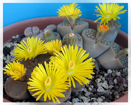 """Il genere Lithops, appartenente alla famiglia delle Aizoaceae comprende un gruppo molto vasto di piante grasse perenni conosciute anche come """"pietre viventi"""" in quanto rassomigliano a delle vere e proprie pietre del deserto. Sono infatti originarie delle zone desertiche dell'Africa meridionale.  La pianta è costituita da due sole foglie opposte, fuse insieme in modo da formare una sorta di cono rovesciato suddiviso nella parte centrale da un setto.   Queste piante sono un vero e proprio capolavoro di adattamento alla vita estrema, escogitando tutta una serie di meccanismi atti alla sopravvivenza nelle zone desertiche"""