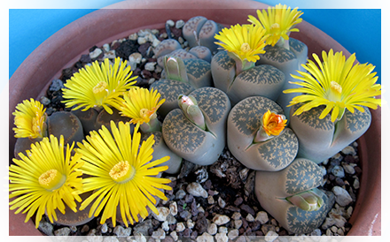 """Le Lithops sono delle """"pietre viventi"""" o """"sassi viventi"""" come più spesso sono chiamate. Sono dei  veri e propri capolavori di adattamento della natura alle condizioni impervie di vita delle zone desertiche."""