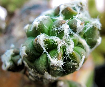 L'Astrophytum (Lemaire 1839) è un genere di pianta succulenta appartenente alla famiglia delle cactacee. Il suo nome deriva dal greco astèr (stella), per la caratteristica forma a costole che dall'alto lo fa somigliare ad una stella e phytòn (pianta). È originario di alcuni areali delimitati del Messico e vive normalmente in terreni semi-aridi e leggermente calcarei.  Gli Astrophytum hanno un fusto globuloso formato da quattro ad otto sezioni divise tra di loro da solchi più o meno profondi. I fiori gialli o giallo-rossi si sviluppano dalle areole presenti alla sommità del fusto.