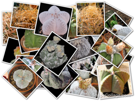 collage-astrophytum-cactus