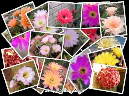 collage-cactus-fioriture