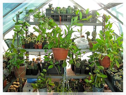 Hoya è un genere di piante della famiglia delle Asclepiadaceae (Apocynaceae secondo la classificazione APG[1]), comprendente circa 200 specie differenti, diffuse nel sud est dell'Asia, in Australia ed in Polinesia[2]. Per la gran parte sono rampicanti, ma alcune si presentano con l'aspetto di arbusti, altre sono striscianti. Furono classificate dal botanico Robert Brown[2] che le chiamò così in onore dell'amico Thomas Hoy, capo giardiniere del duca di Northumberland, nel XVIII secolo.  In Italia la Hoya carnosa è nota anche con il nome colloquiale di fiore di cera.