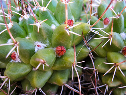 Il genere Mammillaria è il più numeroso e diffuso genere di piante appartenenti alla famiglia delle Cactaceae. Ad esso appartengono oltre 300 specie di piante, diverse per caratteristiche e struttura. Il nome deriva dal greco mamilla (mammella) in riferimento alla forma dei tubercoli più o meno grandi presenti in ogni specie.