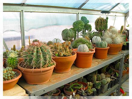 """Il Melocactus è un genere di piante succulente della famiglia delle Cactaceae, comprendente circa 40 specie.  Il nome deriva dal latino melo (melone) unito a cactus, data la forma del fusto che presenta all'apice una forma globulare o cilindrica detta """"cefalio""""; questo, alla cresceti si presenta emisferico e prende poi forma cilindrica quando raggiunge la crescita.  Originari dell'America centro-meridionale, i melocactus, sono piante molto rare e delicate. I fusti hanno forma simile a tutte le comuni cactacee; sono di colore verde e presentano costolature con areole più o meno spinose.  La crescita è molto lenta e la riproduzione avviene solo per seme in quanto la pianta non produce polloni, ed è questo uno dei motivi che rende la pianta rara. A volte le piccole piante vengono innestate sui fusti di Trichocereus."""