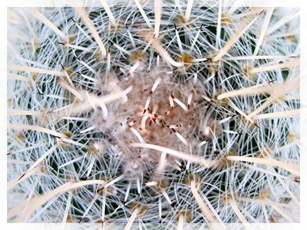 Apice di Mammillaria geminispina v.nobilis