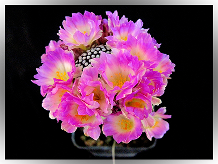 Splendida fioritura copiosa della mia mammillari luethyii, molto simile alla theresae ma da non confondere!