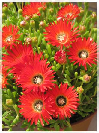 piante-succulente-fiori-rossi