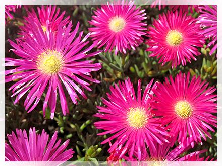 piante-succulente-fioritura-viola