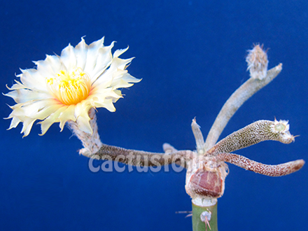 Fioritura di astrophytum caput-medusae innestato.