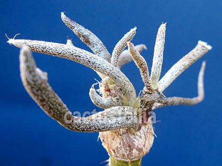 Astrophytum caput-medusae by cactusfollia