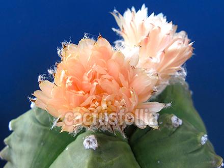 Astrophytum myriostigma cv.kikko