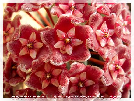 Le foglie delle Hoya possono essere molto differenti tra loro, sono sempre (tranne per la H. imbricata) prodotte in coppie opposte all'altezza di un nodo del fusto della pianta. Le foglie delle Hoya che crescono in ambienti più secchi sono succulente, appunto per non disidratarsi velocemente, mentre quelle che crescono in ambienti più costantemente umidi sono più ampie e sottili. Alcune come quelle delle Hoya linearis sono strette e affusolate e differiscono notevolmente da quelle delle altre Hoya.  I fusti delle Hoya possono essere rampicanti, striscianti e in alcuni casi eretti e cespugliosi.