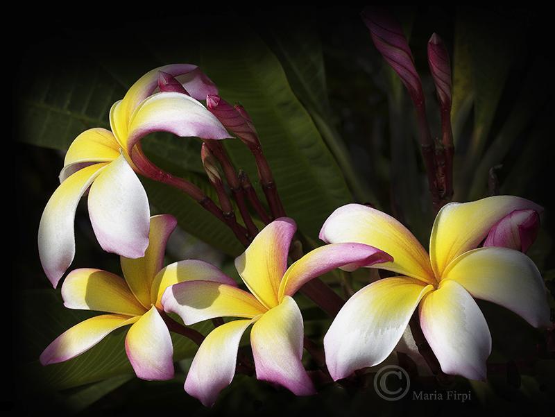 Plumeria rubra 'Paradise'