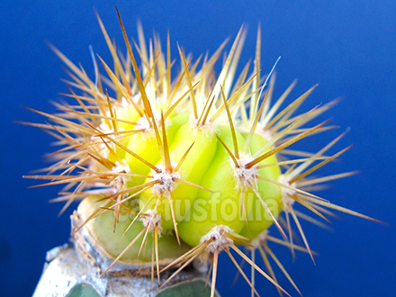 Trichocereus ibrido variegato, acquistato lo scorso anno da Damiano Sergi di Meridional Cactus.