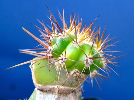 Come innestare cactus partendo dal tubercolo. Tecnica ideale per riprodurre piante grasse dal portamento colonnare come i trichocereus.