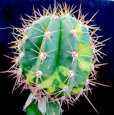cactus innesto tubercolo