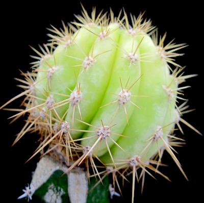 cactus-innesti-variegatura