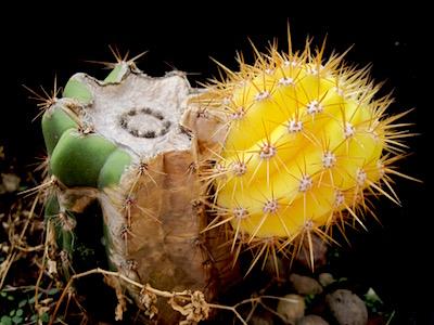 trichocereus sp. variegato - la pianta madre