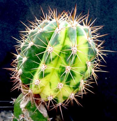 cactus tubercolo variegato
