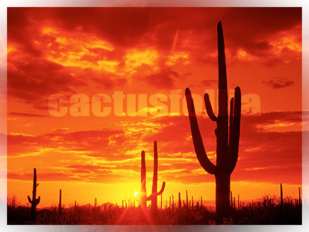 cactus concimi composizione