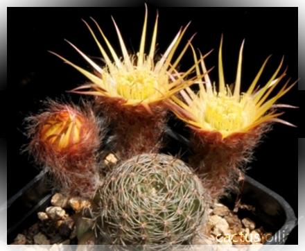 Particolare dei fiori della cultivar di lobivia più diffusa nel mondo degli appassionati e collezionisti di piante grasse e succulente rare da collezione.