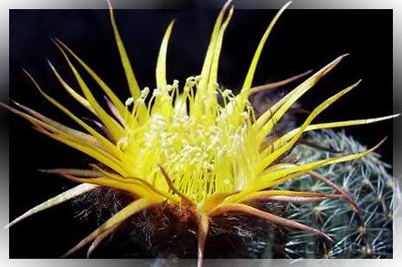 cactus cultivar lobivia echinopsis trichocereus
